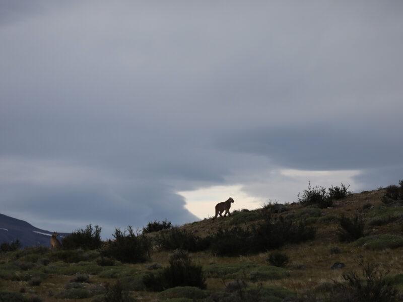 Tracking Puma in Patagonia